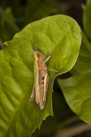 chorthippus: grasshopper sitting on the grass