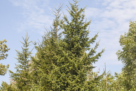 coniferous tree: coniferous tree crown and sky