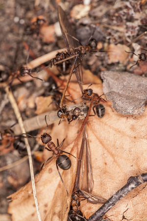 hunted: hunted mosquito Stock Photo