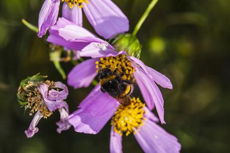 stamen wasp: bee upside down on the flower