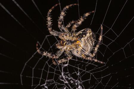 arachnoid: spider web