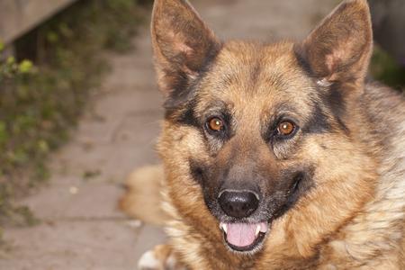 Portrait of a German shepherd Stock Photo