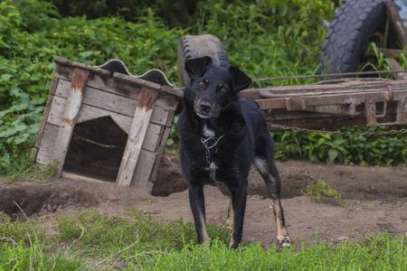 perro asustado: perro en una cadena salga de la caseta Foto de archivo