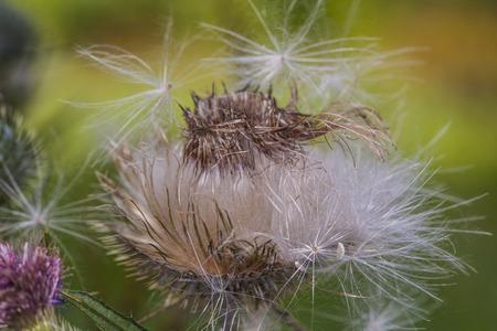 dry weed common Reklamní fotografie