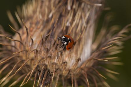 ladybug walking on a dry thistle
