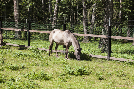 horse eats the grass, Bialowieza National Park