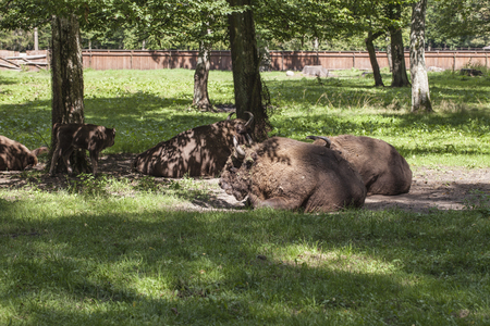 bison lying in the yard