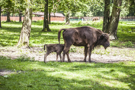 Small bison eats food from the mother Stock Photo