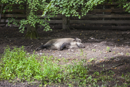 pigling: boar basking in the sun