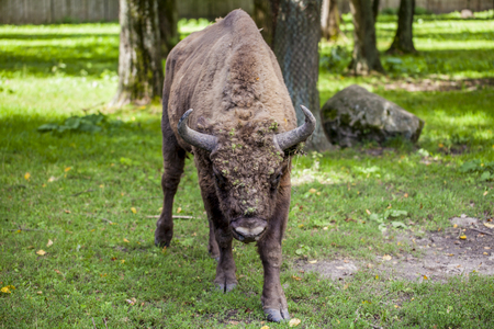 Portrait of an old bison