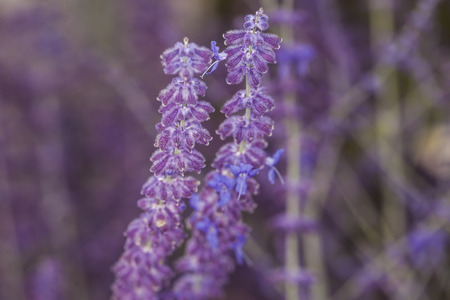 unfold: Close-up of inflorescence of lavender