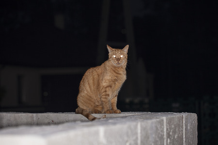 ginger cat sitting on a fence at night, lit his eyes