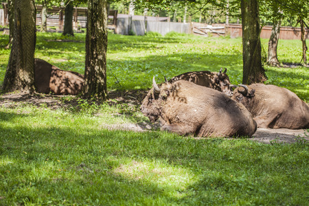 herd of bison lying on the grass