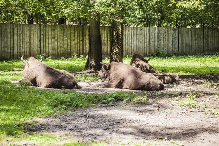 herd of bison Stock Photo