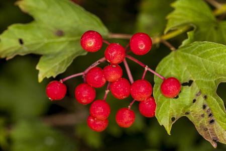 eberesche: red rowan growing on tree