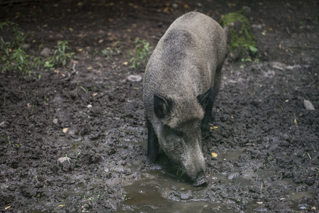 pigling: Portrait of a boar Stock Photo