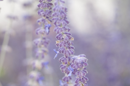 lavendin: lavender flower close up Stock Photo