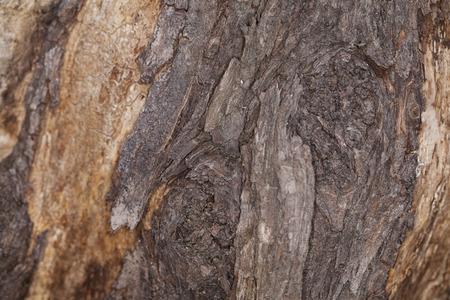 walnut tree: Old walnut tree trunk detail