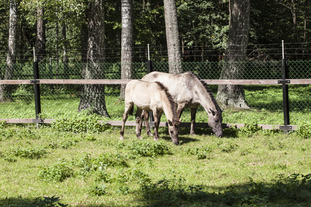 two horses eat the grass