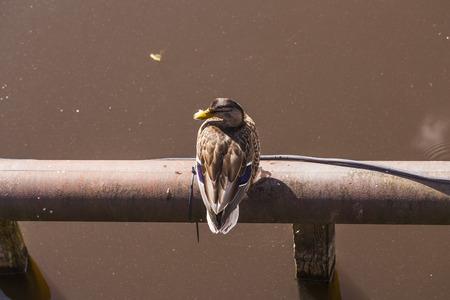 color image mallard duck: wild duck sitting on the tube