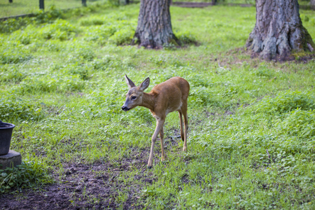 small fawn