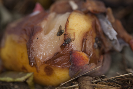 flies sitting on rotten apples
