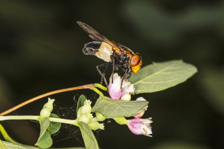 the strange fly collects flower nectar