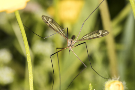 Tipula oleracea, big insect from the dipteran family, similar to a mosquito, close up