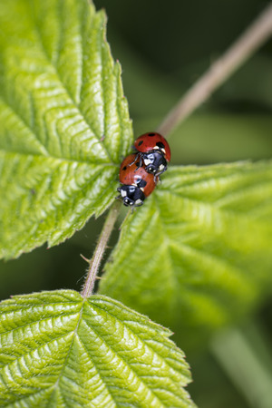 Coccinella septempunctata, two ladybirds are copulating on a leaf, top view