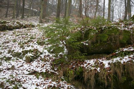 winter period, green conifer tree, small snow cover