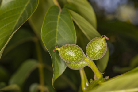 unripe green Juglans regia, close up