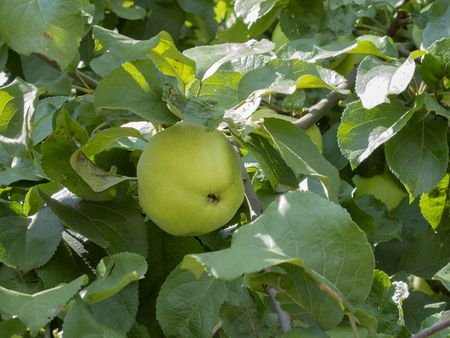 beautiful green apple is growing on the tree
