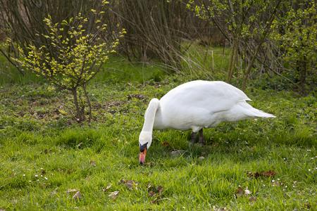 beautiful big swan walks in search of food 写真素材