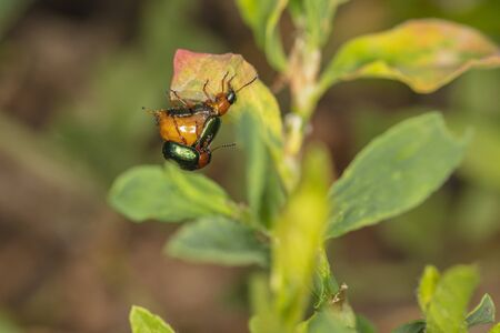 Chrysolina fastuosa, colorful beetles reproduce in the bosom of nature, childbirth