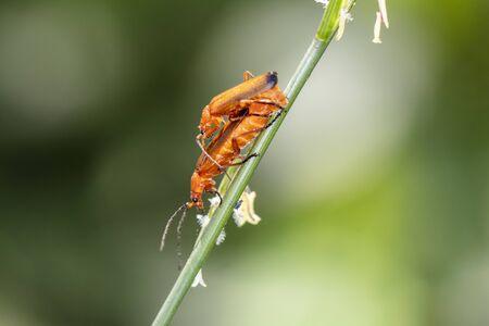 Rhagonycha fulva, small insects on plants