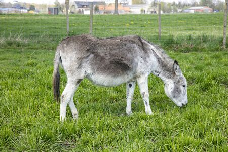donkey in the pasture eats grass