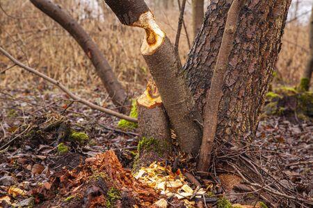 trees cut by beavers, teeth marks on trees