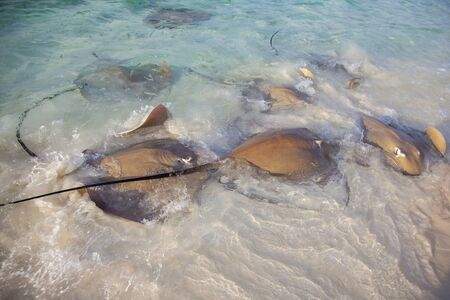 Stingrays dangerous animals on the beach at Maldives