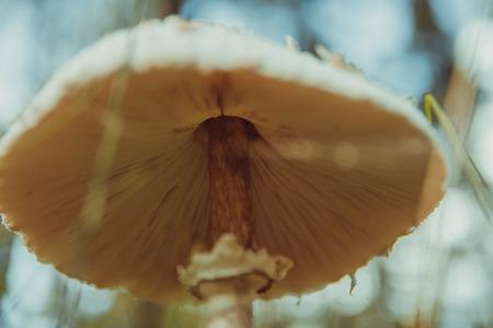Amanita phalloides, connu comme la casquette de la mort