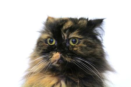 occhi grandi: Gatto con gli occhi grandi, spaventati Archivio Fotografico