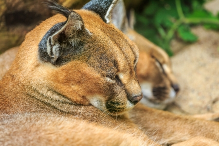 Caracal Wild Cats