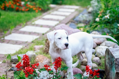 Young dogo argentino in the garden
