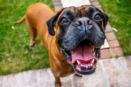 look up: Happy boxer dog Stock Photo