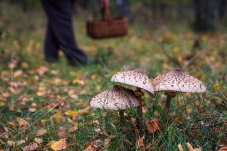Parasol mushrooms and mushroom collector