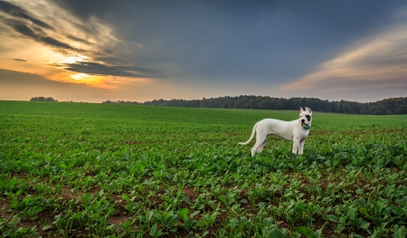 Dogo argentino on the field photo