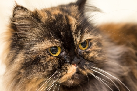 Fluffy cat with big shiny eyes