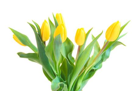 Yellow tulips isolated