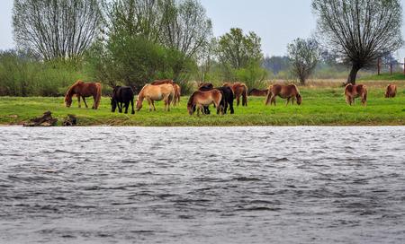 Horses at the river