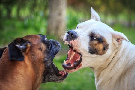 perro furioso: Lucha Foto de archivo