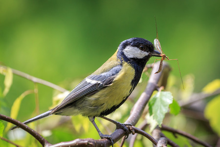 Great Tit carrying mosquito Stock Photo